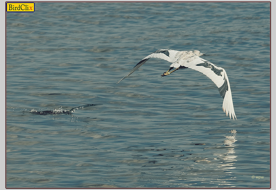 <Image by © Wolf P. Weber of a needle fish in the water racing after a juvenile Little Blue Heron in flight>