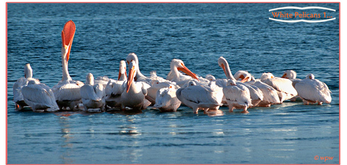 <Picture of a flock of Wjite Pelicans resting in shallow waters>